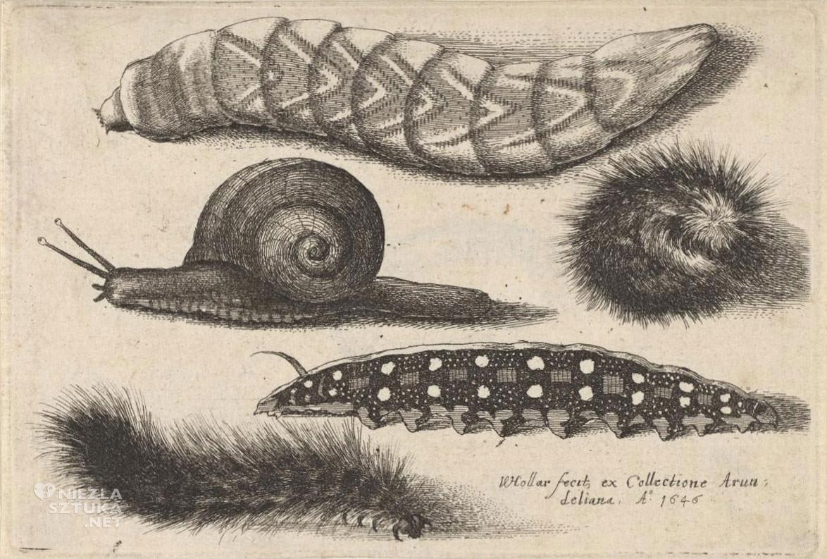 Vaclaw Hollar, gąsienice, ślimak, zwierzęta, szkic, ilustracja, Czechy, Niezła Sztuka