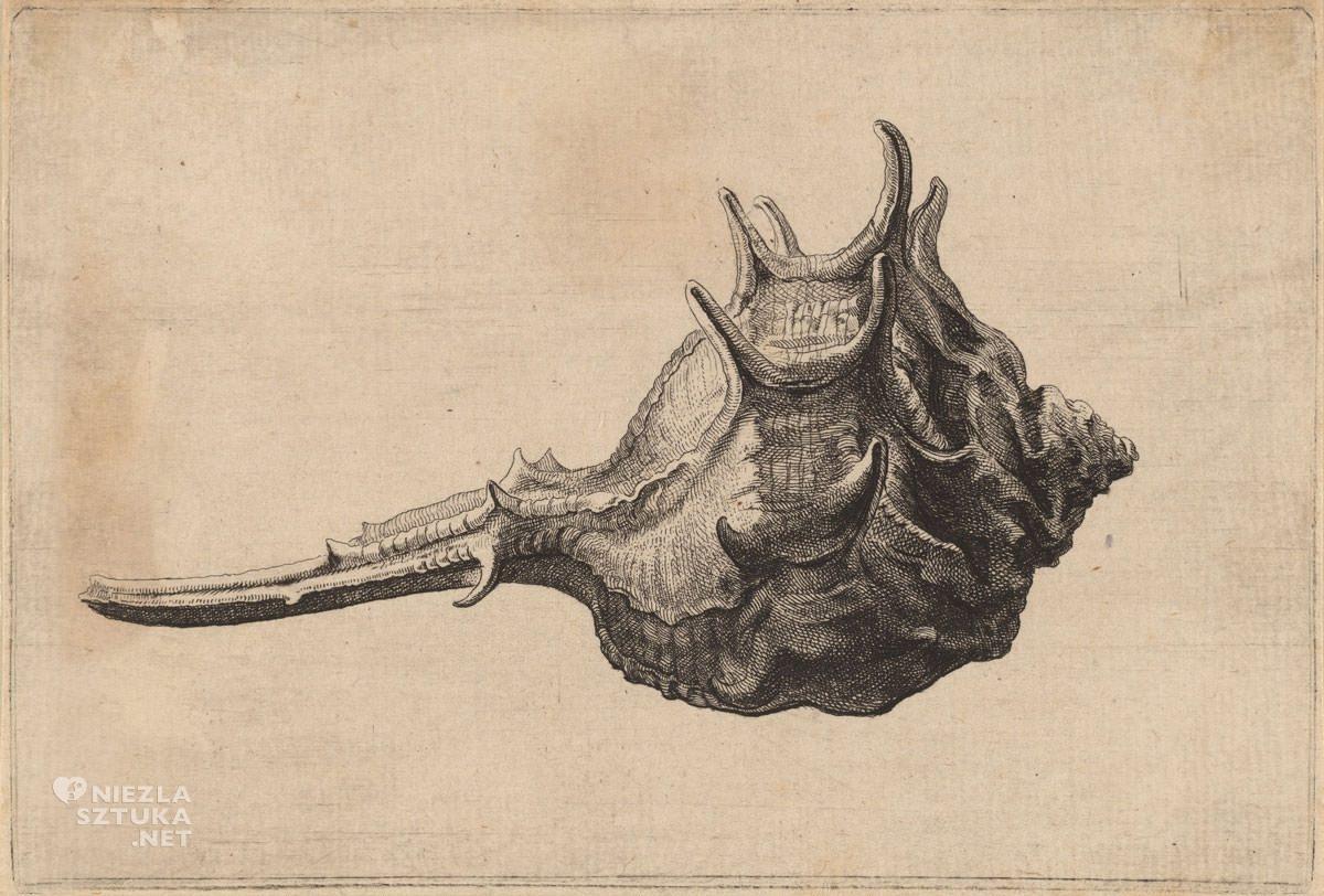 Vaclav Hollar, Muszla, rysunek, grafika, Czechy, Niezła Sztuka