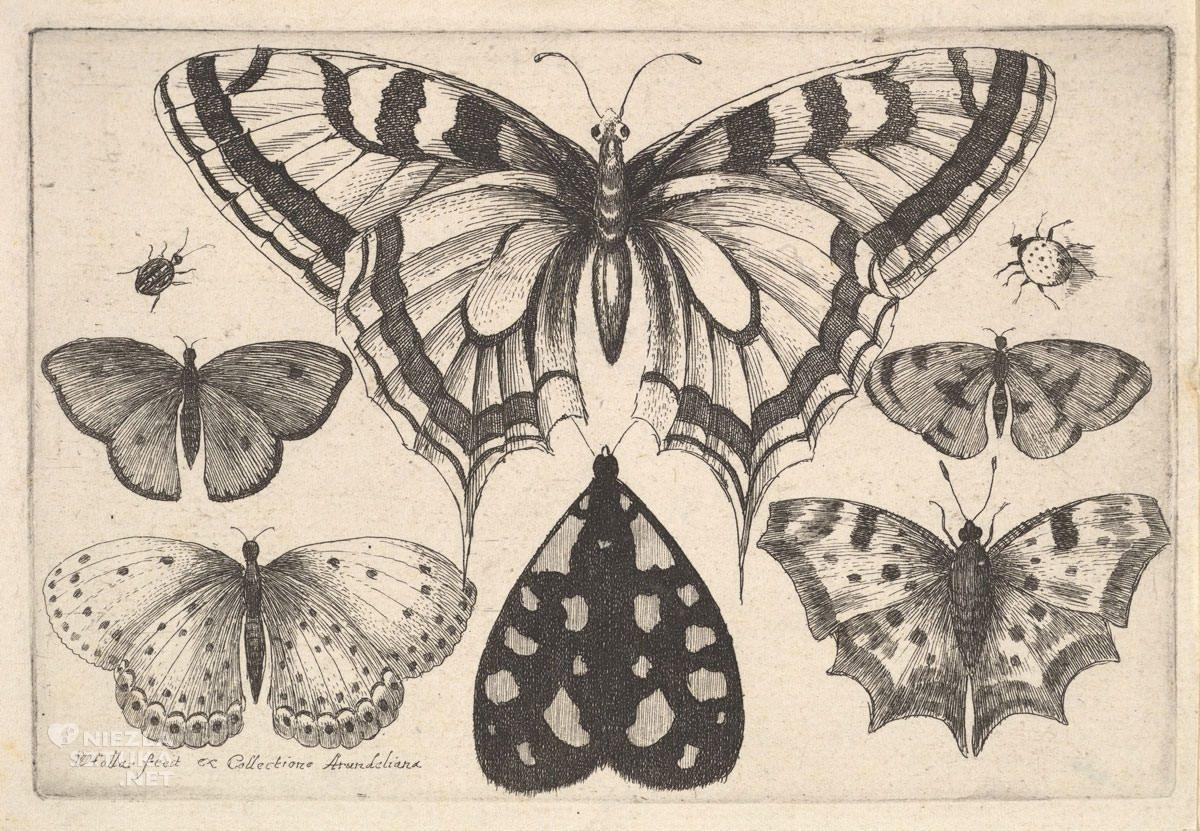 Vaclav Hollar, motyle, owady, grafika, szkice, Niezła Sztuka