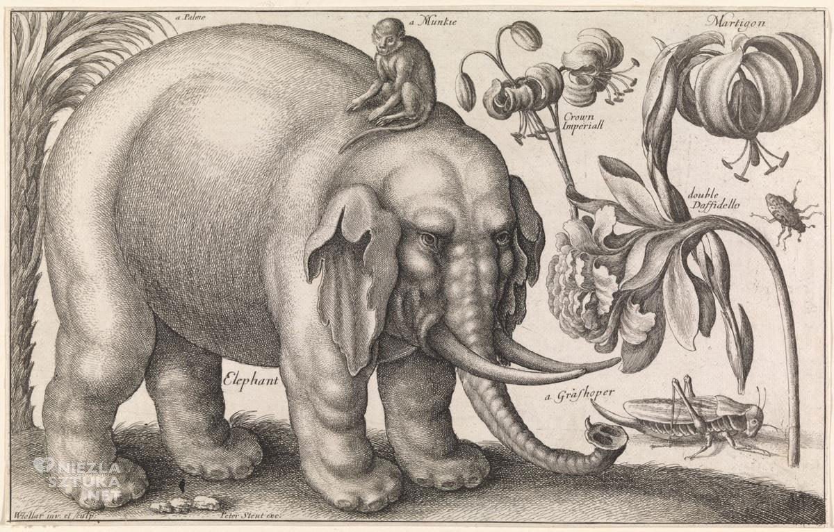 Vaclav Hollar, zwierzęta, rośliny, szkice, słoń, małpa, kwiaty, owady, Czechy, Niezła Sztuka