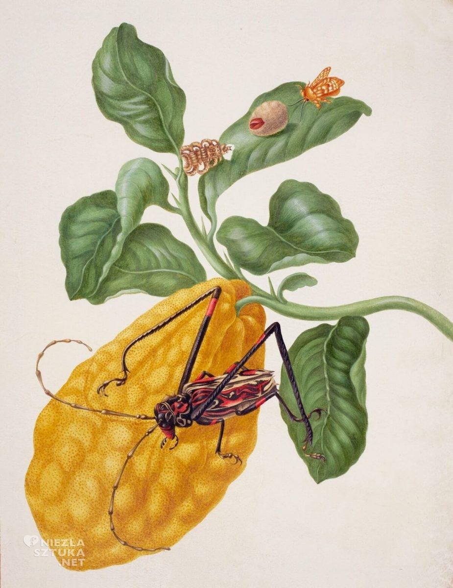 Maria Sibylla Merian, Citron with Monkey Slug Moth and Harlequin Beetle, biologia, owoce, insekty, rysunek, Niezła Sztuka