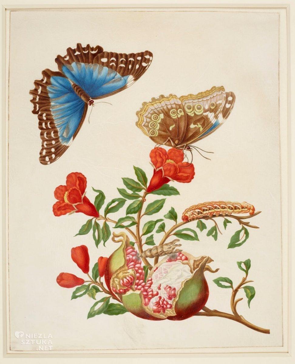 Maria Sibylla Merian, Pomegranate and Menelaus Blue Morpho Butterfly, rysunek, biologia, Niezła Sztuka