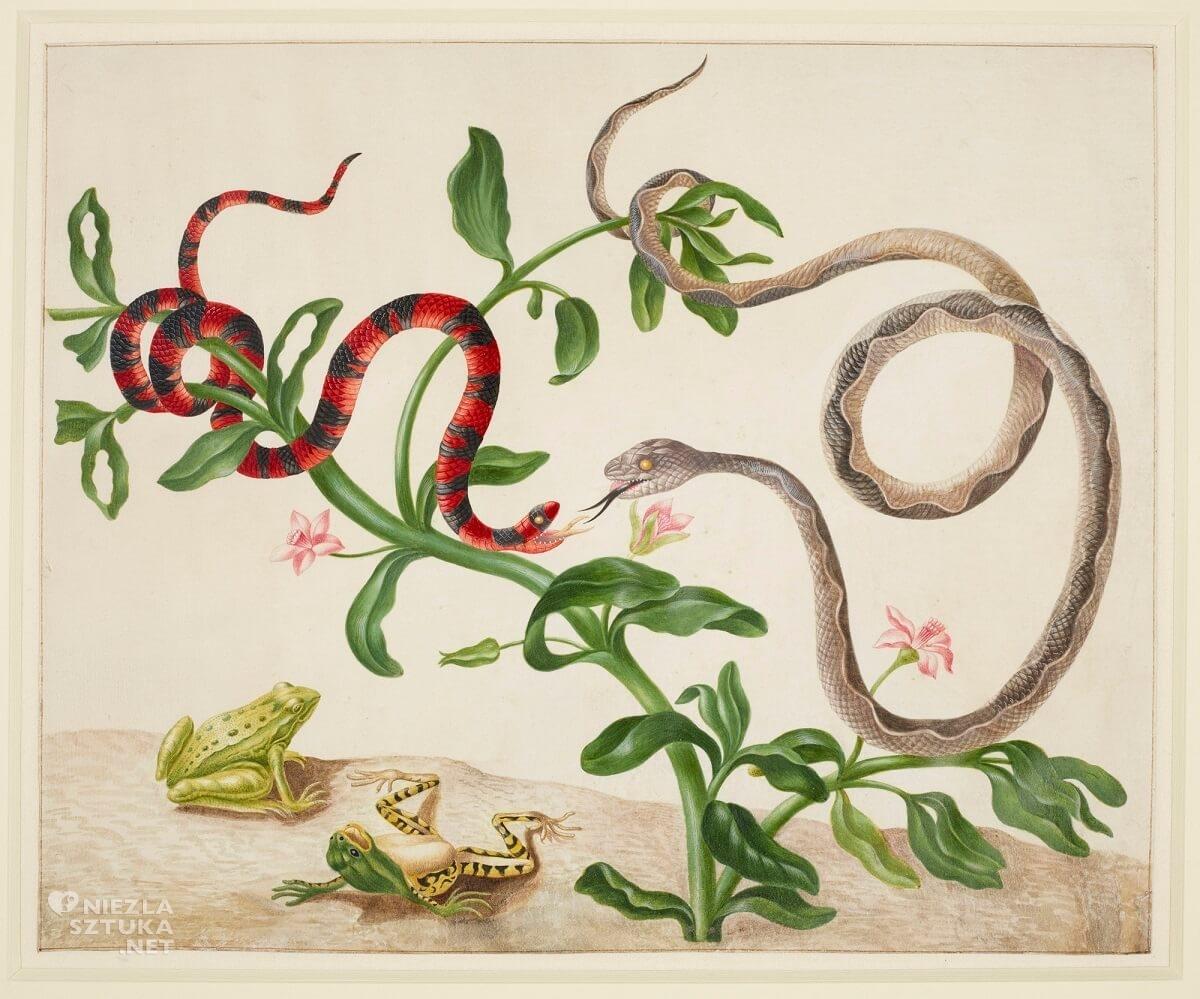 Maria Sibylla Merian,False Coral Snake, Banded Cat-Eyed Snake and frogs, rysunek, biologia, Niezła Sztuka