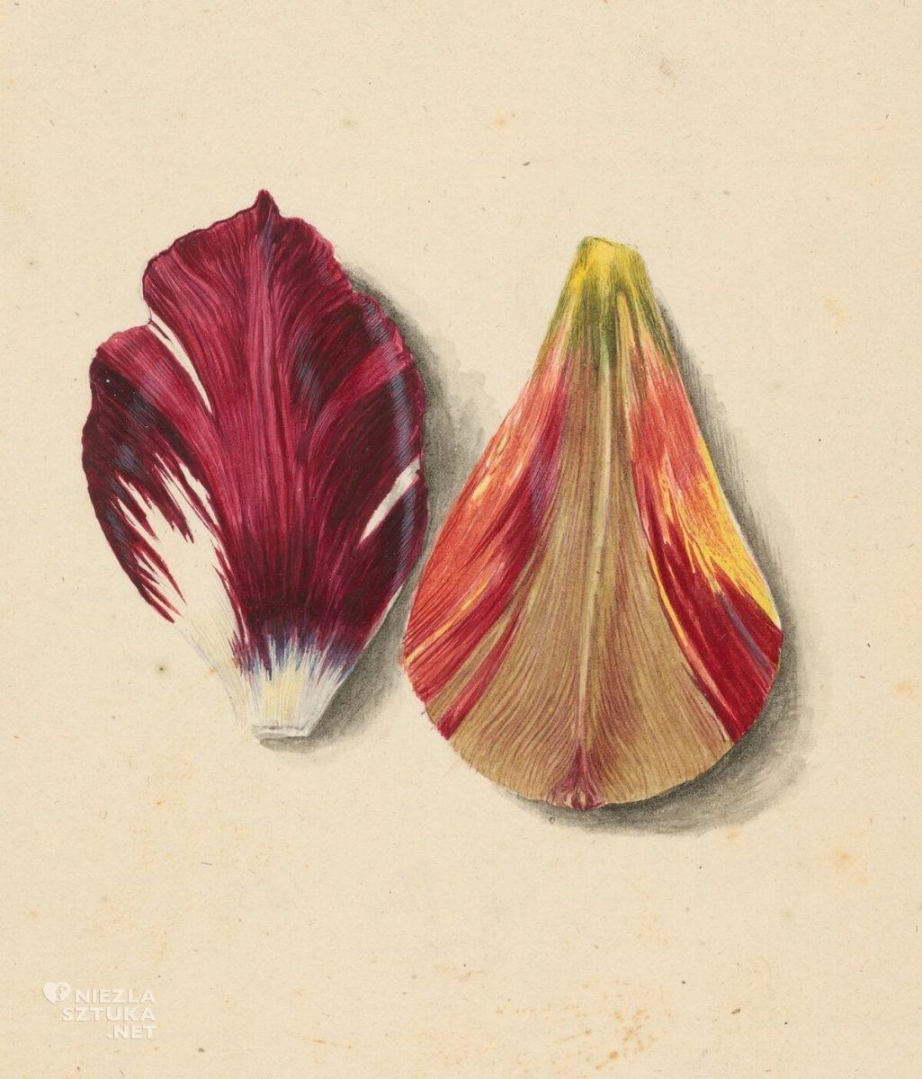 Maria Sybilla Merian, Płatki Tulipanów, kwiaty, ilustracja, Niezła Sztuka