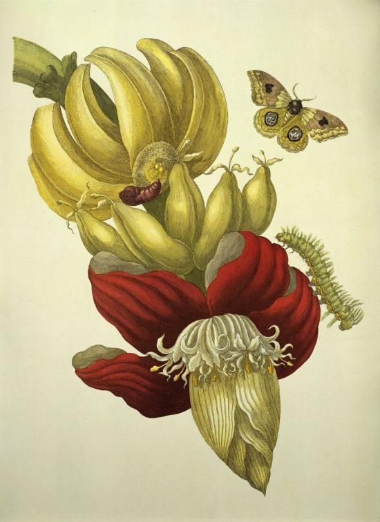 Maria Sibylla Merian, ilustracja, rysunek, biologia, przyroda, Metamorphosis, Niezła Sztuka