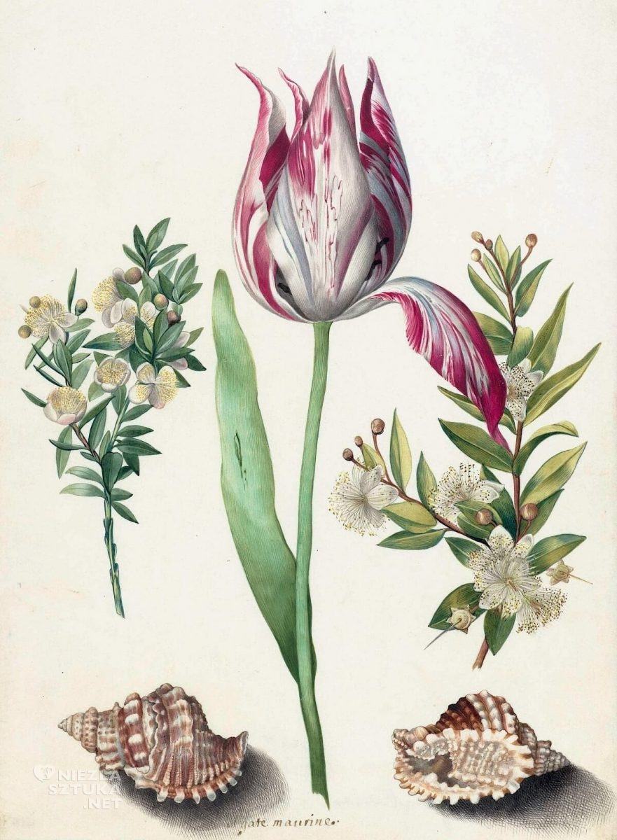 Maria Sibylla Merian, rysunek, Tulip, two Branches of Myrtle and two Shells, biologia, kwiaty, muszle, Niezła Sztuka