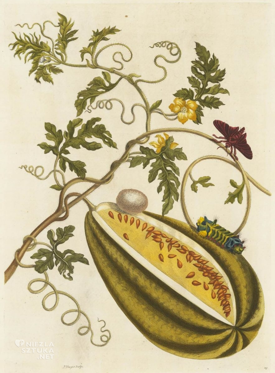 Maria Sibylla Merian, A Surinamese melon and insects from the book Insects of Suriname, rysunek, Niezła Sztuka