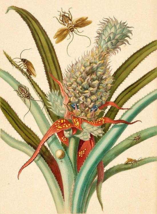 Maria Sibylla Merian, Pineapple, in Over de voortteeling en wonderbaerlyke veranderingen der Surinaemsche insecten, rysunek, Niezła Sztuka