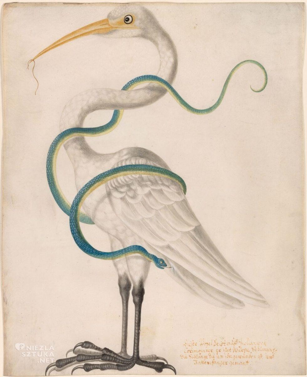 Maria Sibylla Merian, Heron Encircled by a Snake, zwierzęta, rysunek, Niezła Sztuka