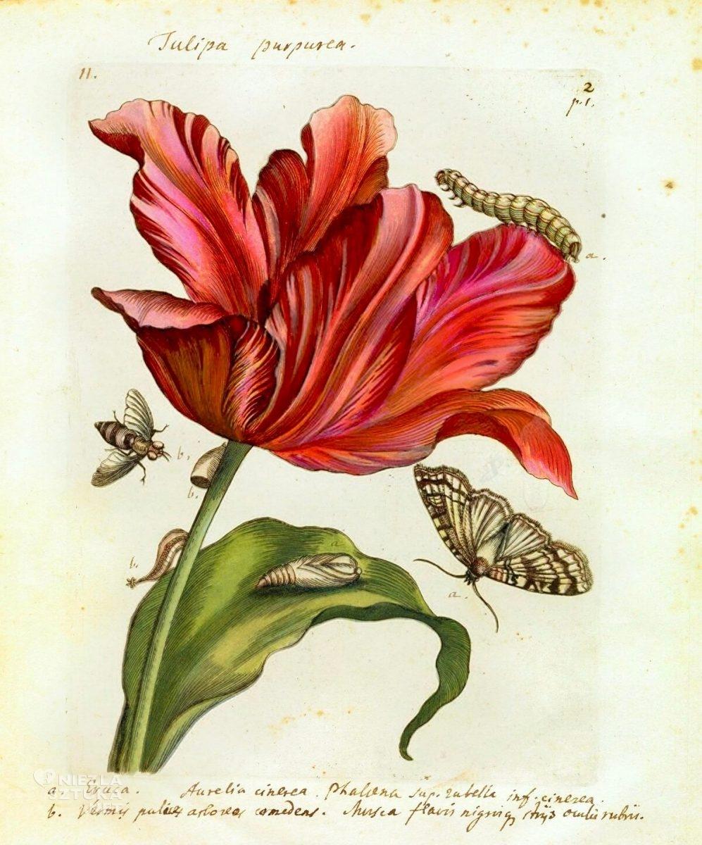 Maria Sibylla Merian, Tulipa Purpurea, rysunek, kwiaty, tulipan, Niezła Sztuka