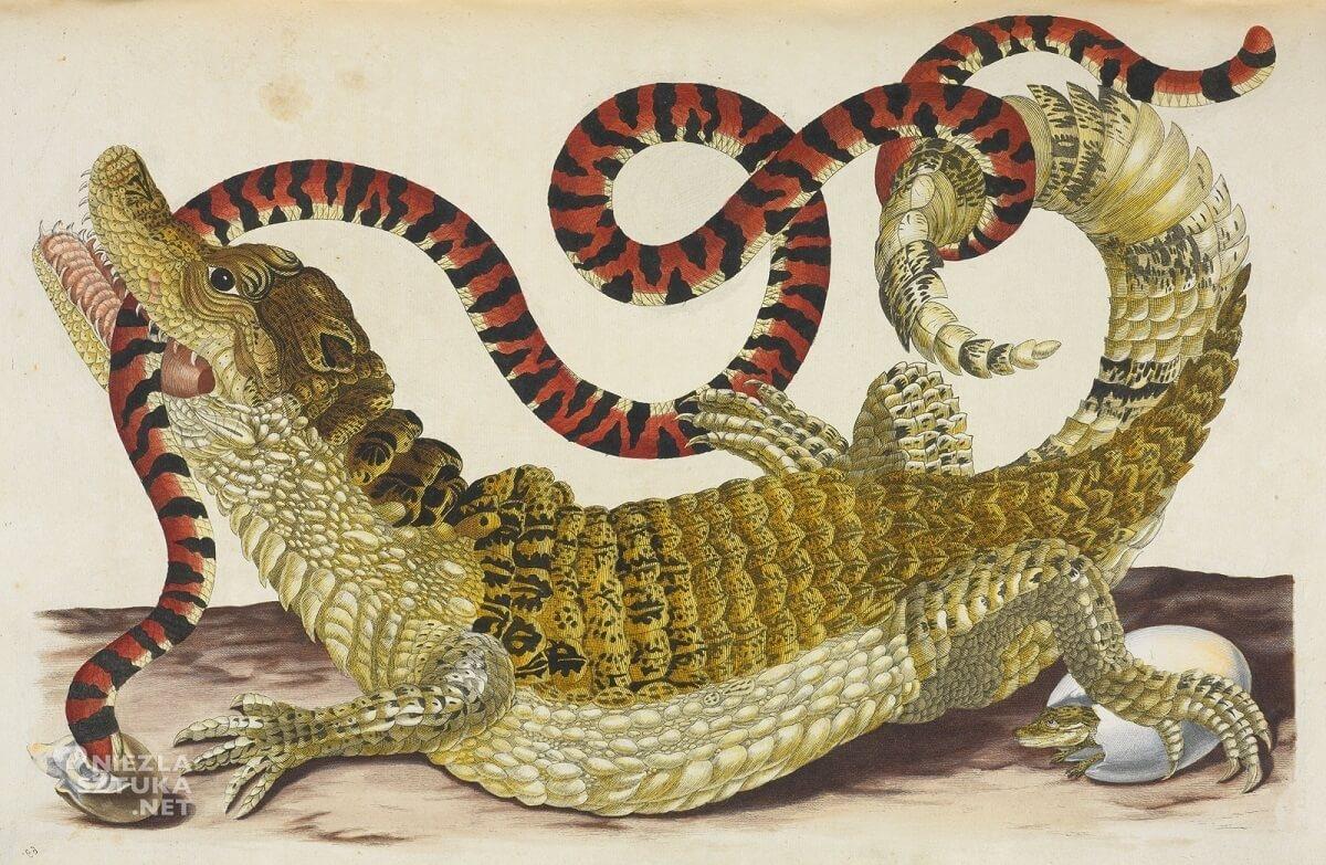 Maria Sibylla Merian, Common or Spectacled Caiman with South American False Coral Snake, rysunek, zwierzęta, Niezła Sztuka