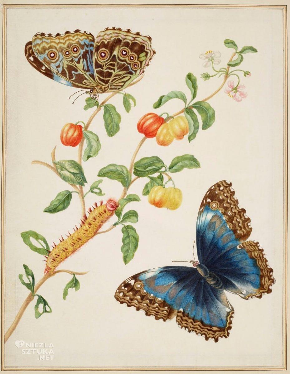 Maria Sibylla Merian, biologia, branch of West Indian Cherry with Achilles Morpho Butterfly, rysunek, Niezła Sztuka