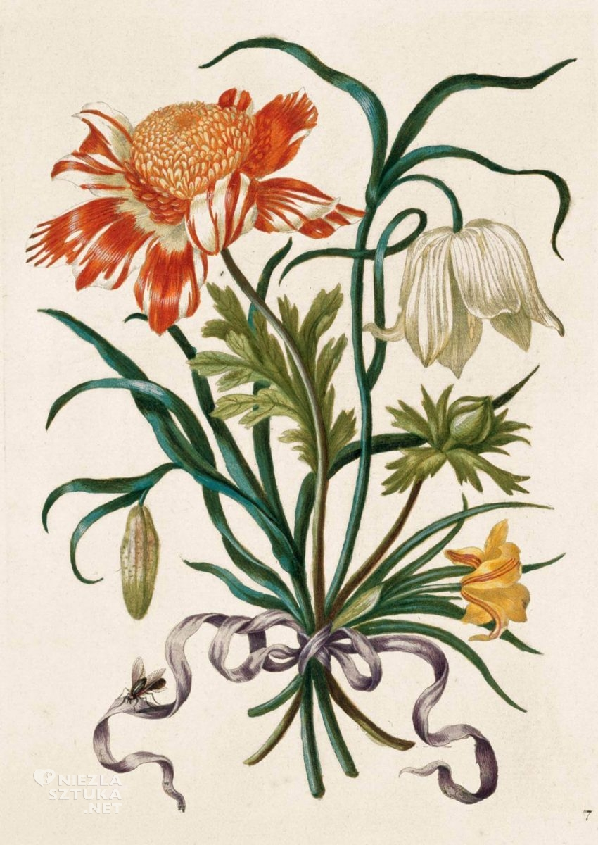 Maria Sibylla Merian, Anemone, The New Book of Flowers, rysunek, biologia, kwiaty, Niezła Sztuka