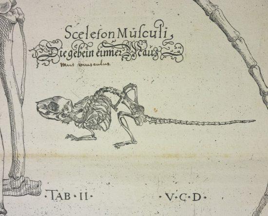 Volcher Coilter, ilustracja, szkielet, przyroda, nauka, Niezła Sztuka
